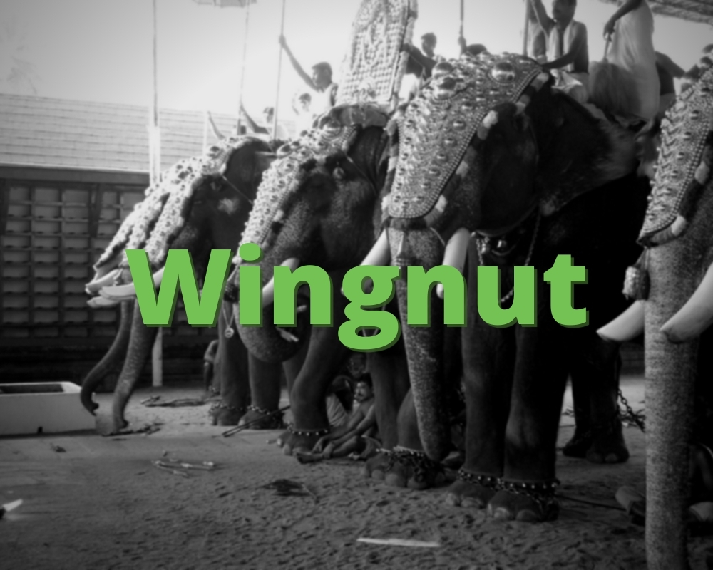 Wingnut, Decorated Elephants in Background